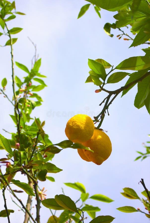 Huge lemons of Campanie- Italy stock images