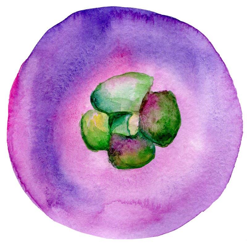 As ilustrações tiradas mão da aquarela do mangustão isolaram-se Fruto exótico da aquarela do mangustão Ilustra??o do alimento do  ilustração do vetor