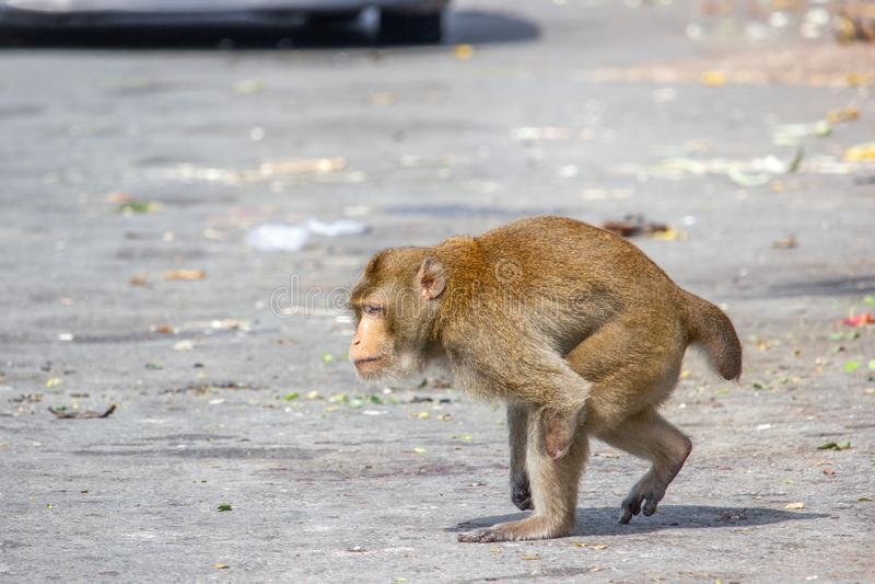 As inabilidades do macaco têm um braço que anda com fundo obscuro fotos de stock royalty free