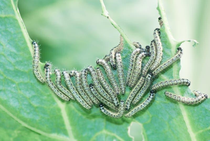As lagartas comem a folha da couve fotografia de stock