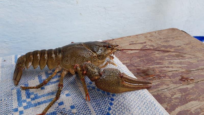 As lagostas vivas encontram-se na tabela Fim acima imagens de stock
