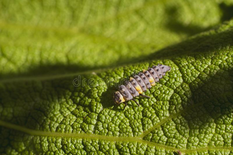 As larvas de olhares dos besouros como um sem-fim lá são cores bonitas no corpo foto de stock