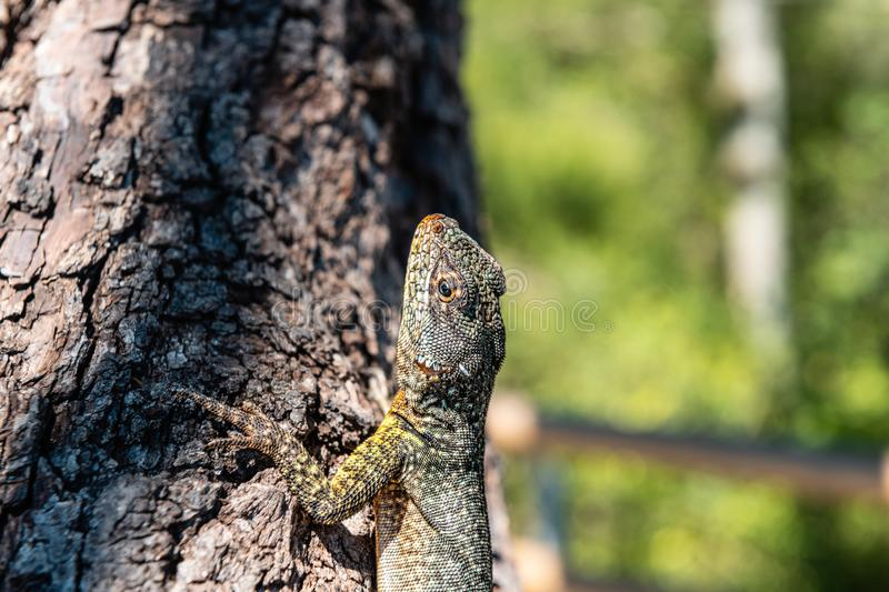 As the lava lizard lazes about royalty free stock images