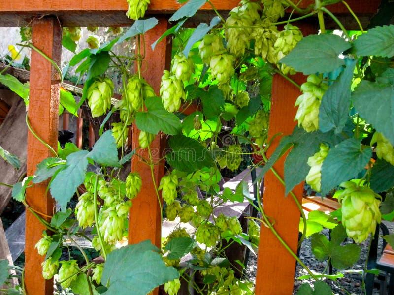 As lianas do Humulus com folhas e as flores verdes dos cones da semente escalam ao longo da cerca de madeira fotos de stock royalty free