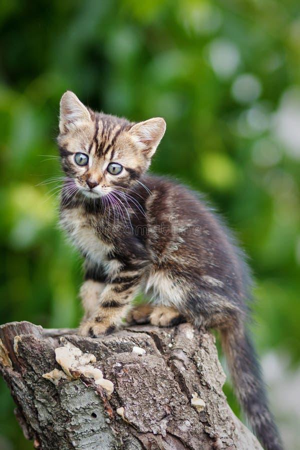 As listras bronzeiam o gatinho bonito que senta-se em um coto fotos de stock