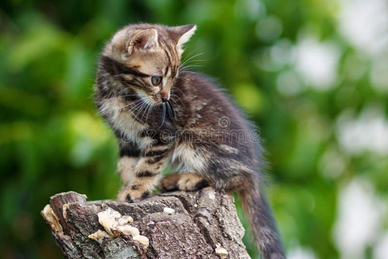 As listras bronzeiam o gatinho bonito que senta-se em um coto fotografia de stock royalty free