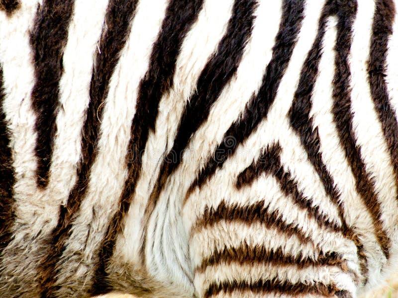 As listras da zebra fecham-se acima foto de stock royalty free
