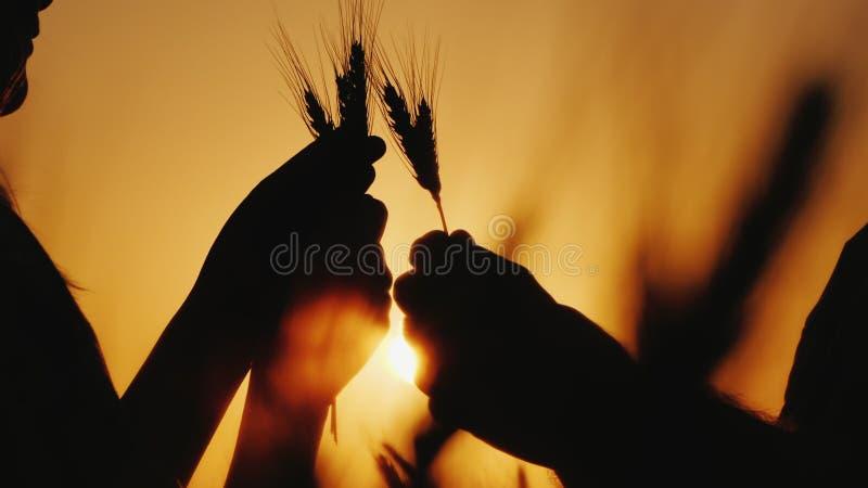 As mãos de dois fazendeiros guardam as orelhas do trigo, estudo a grão no campo foto de stock royalty free