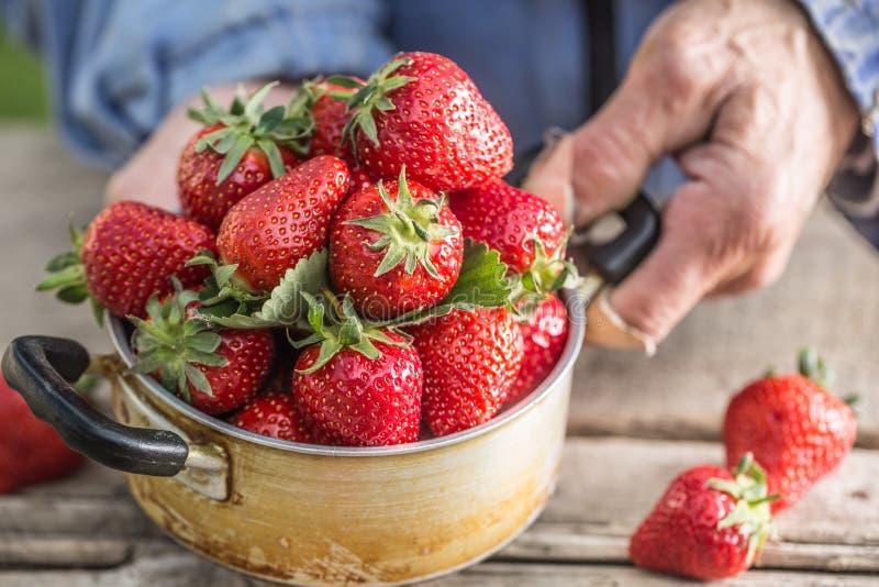 As mãos de Farme guardam um potenciômetro velho da cozinha completamente de morangos maduras frescas fotografia de stock