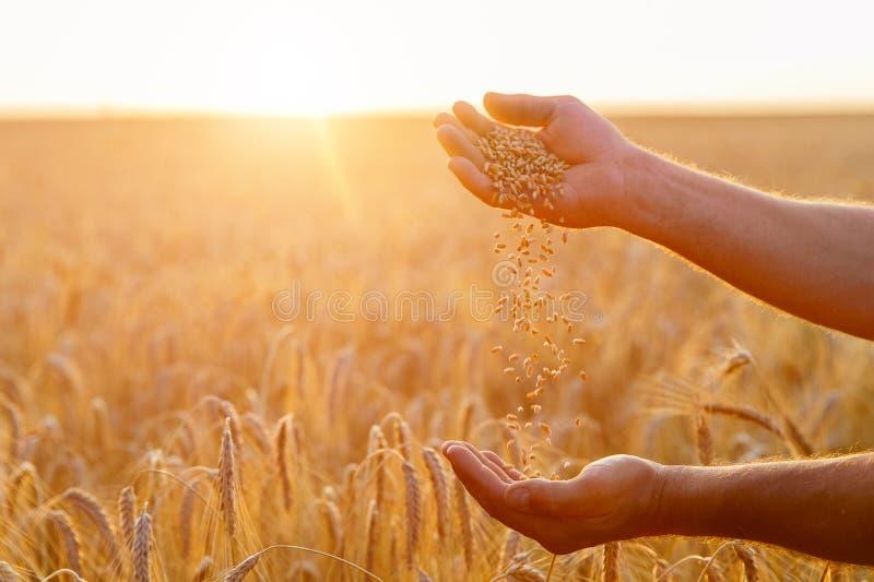 As mãos de um fim do fazendeiro derramam acima um punhado de grões do trigo dentro fotos de stock