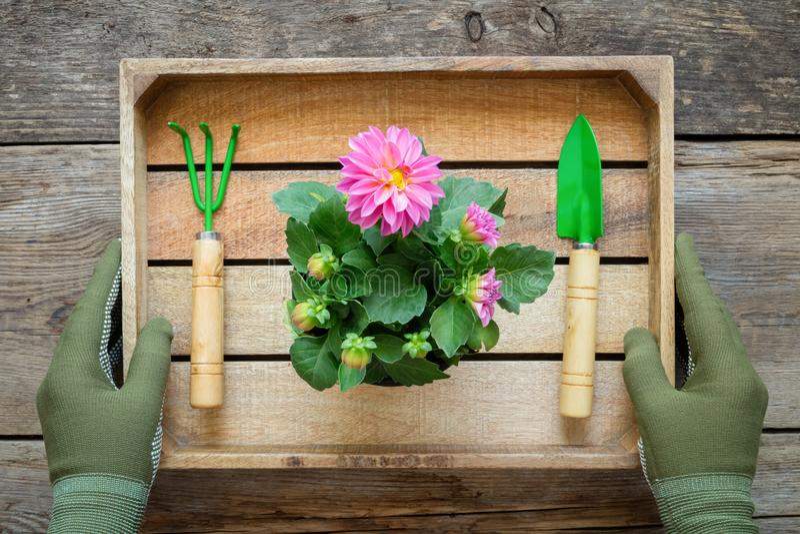As mãos de um jardineiro nas luvas guardam uma caixa com uma dália em um potenciômetro, em uma pá e em um ancinho de flor fotos de stock