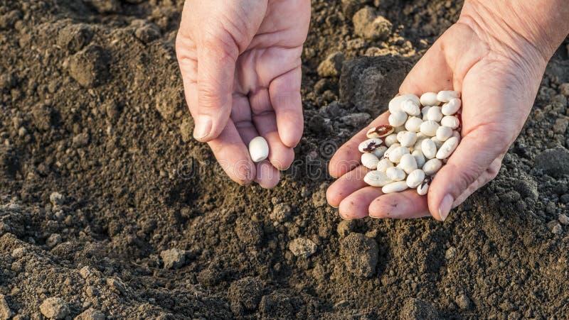 As mãos do fazendeiro com sementes do feijão sobre um campo arado imagens de stock