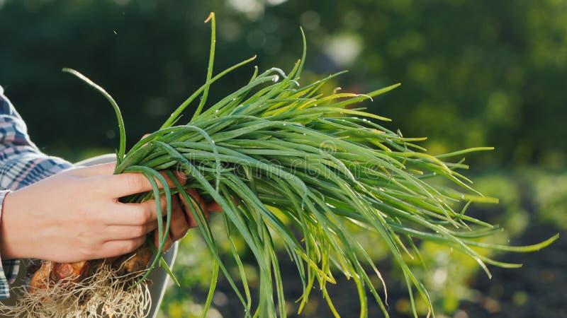 As mãos do fazendeiro estão guardando uma braçada das cebolas verdes apenas cortadas do jardim Vista lateral foto de stock