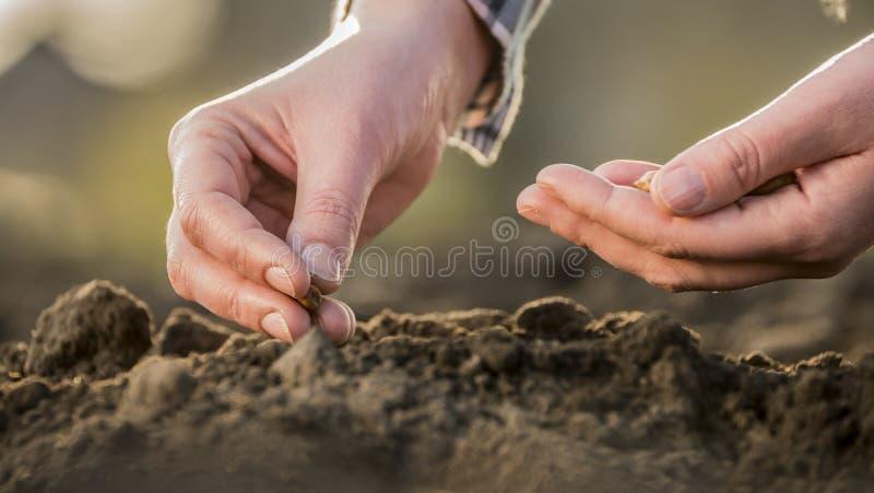 As mãos do fazendeiro estão plantando a grão no solo Conceito novo da vida fotografia de stock royalty free