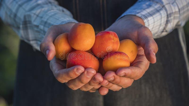 As mãos do fazendeiro guardam diverso o abricó soletrado suculento imagens de stock royalty free