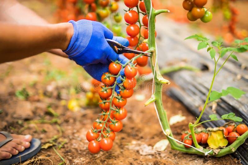 As mãos do homem do fazendeiro recolhem tomates de cereja com harve das tesouras foto de stock