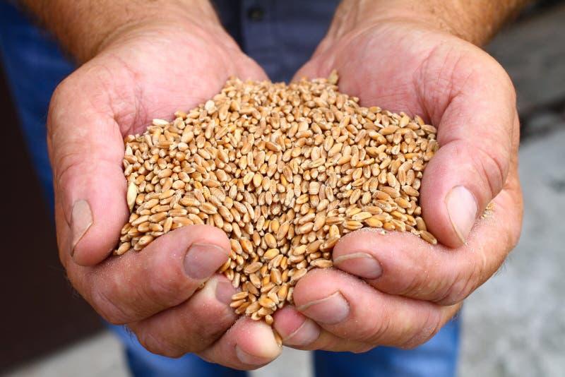 As mãos dos homens guardam grões do trigo fotos de stock royalty free