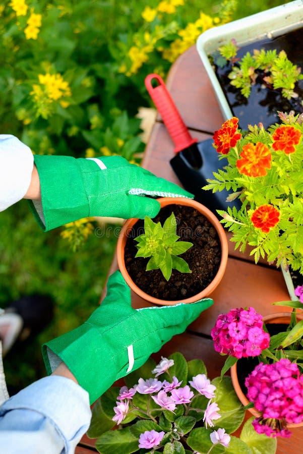 As mãos em luvas verdes plantam flores no potenciômetro fotografia de stock royalty free