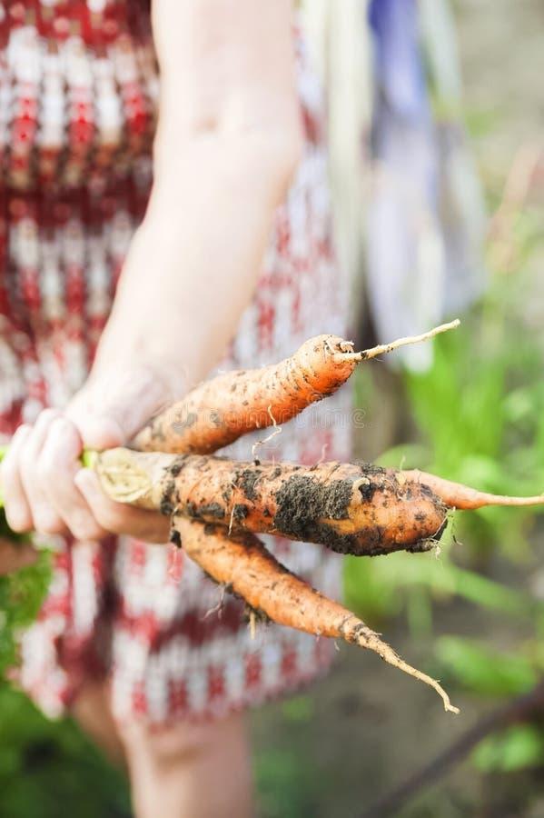 As mãos enrugadas de uma pessoa idosa para guardar cenouras frescas com terra e partes superiores Colheita da cenoura do close up fotografia de stock royalty free