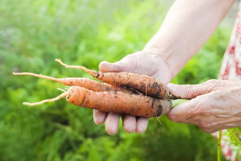As mãos enrugadas de uma pessoa idosa para guardar cenouras frescas com terra e partes superiores Colheita da cenoura do close up fotos de stock