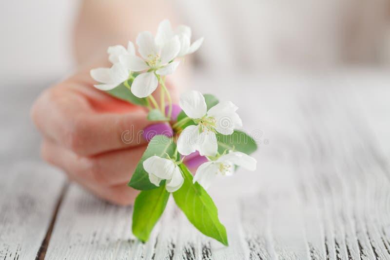 As mãos fêmeas com o tratamento de mãos que guarda uma árvore de maçã florescem Flor de Apple ou da mola de sakura imagens de stock royalty free
