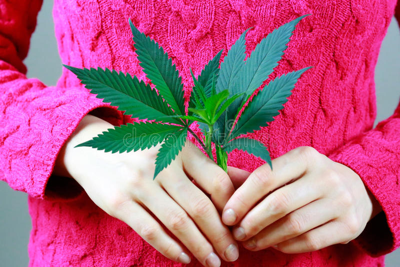 As mãos fêmeas estão guardando a folha fresca verde da marijuana (os cannabis) fotos de stock