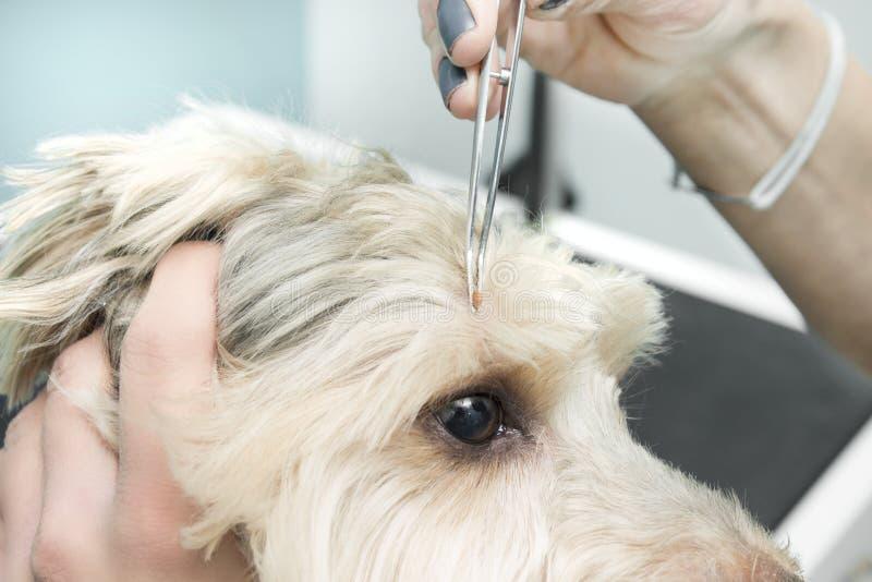 As mãos fêmeas puxam um tiquetaque do ` s do cão com alicates médicos foto de stock royalty free