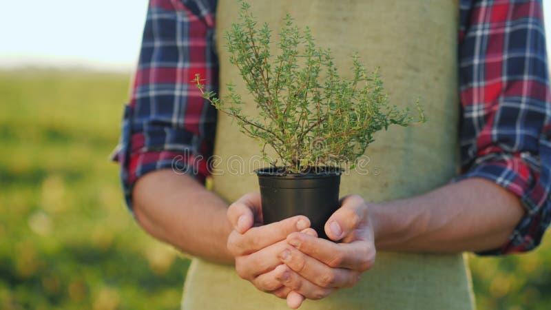 As mãos masculinas do fazendeiro guardam um potenciômetro da planta do tomilho Especiarias crescentes fotografia de stock royalty free