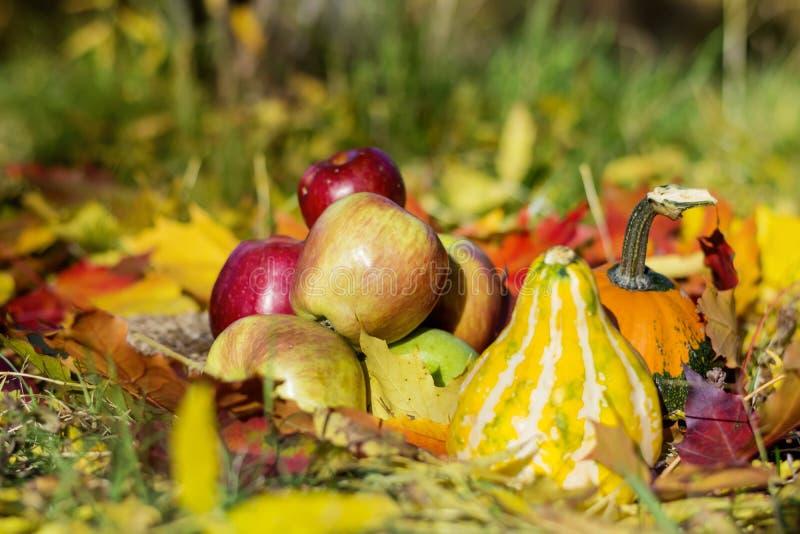 as maçãs, as abóboras e as folhas de outono vermelhas frescas em um outono jardinam imagens de stock