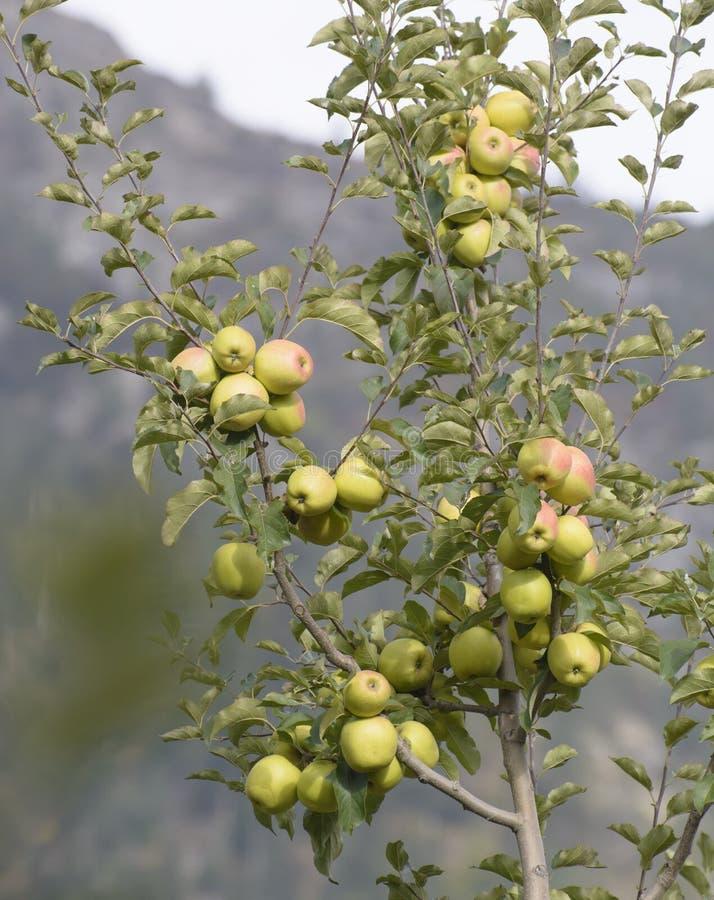As maçãs de Kinnaur são colhidas na grande escala na Índia de Himachal Pradesh fotografia de stock