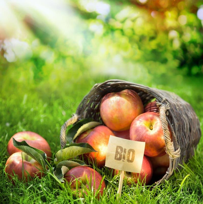 As maçãs frescas da exploração agrícola saudável classificaram bio imagem de stock