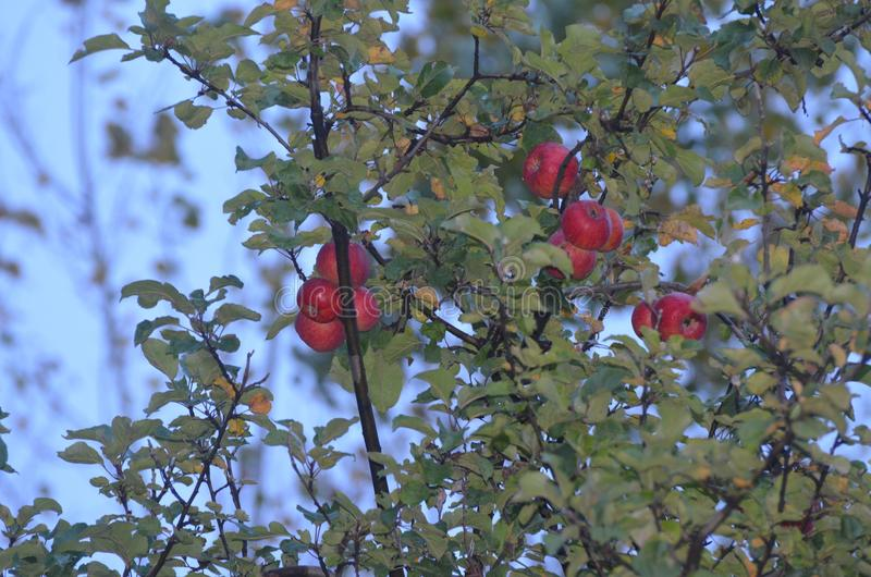 As maçãs frescas e saborosos imagem de stock