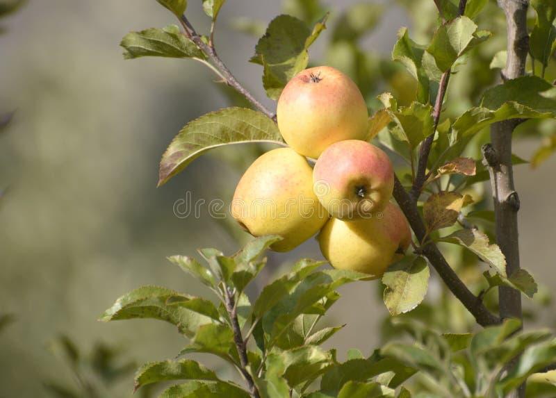 As maçãs são colhidas na grande escala na Índia de Himachal Pradesh foto de stock royalty free