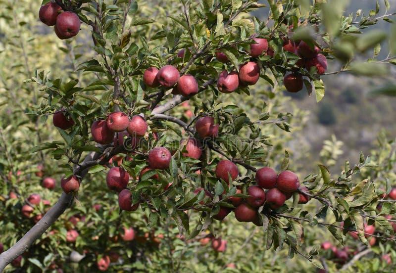 As maçãs são colhidas na grande escala na Índia de Himachal Pradesh fotos de stock
