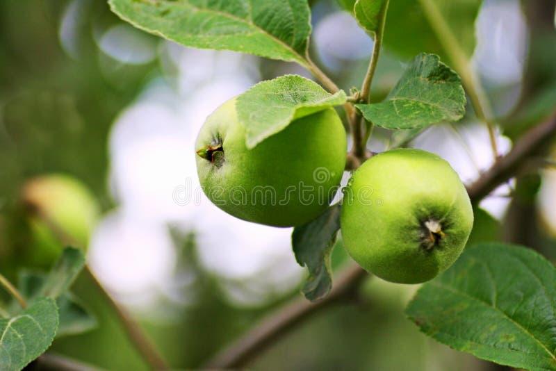 As maçãs verdes amadurecem nos ramos da árvore fotos de stock