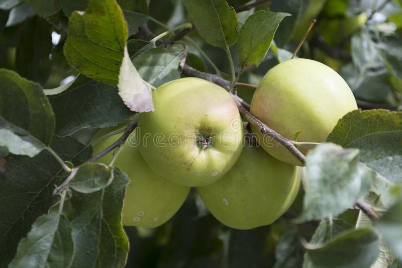 As maçãs verdes são crescidas em Kalpa em Himachal Pradesh imagens de stock