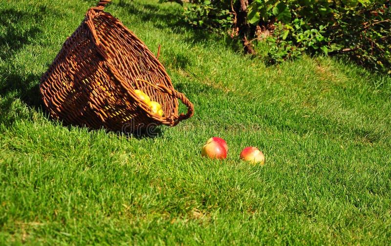 As maçãs vermelhas brilhantes encontram-se no gramado verde no jardim do verão perto das cestas de vime imagem de stock royalty free