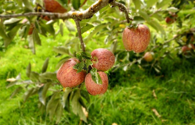As maçãs vermelhas são populares, suculentas e saborosos e são crescidas em Shimla, Himachal Pradesh imagens de stock