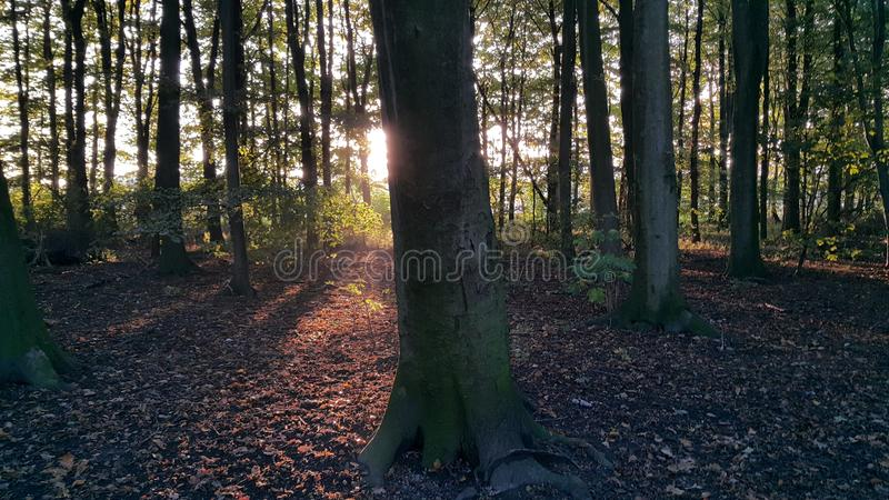 As madeiras no por do sol fotos de stock