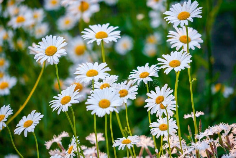 As margaridas bonitas da mola florescem no campo com as pétalas brancas delicadas Jogo do ` s das crianças - desagrados dos gosto fotografia de stock royalty free