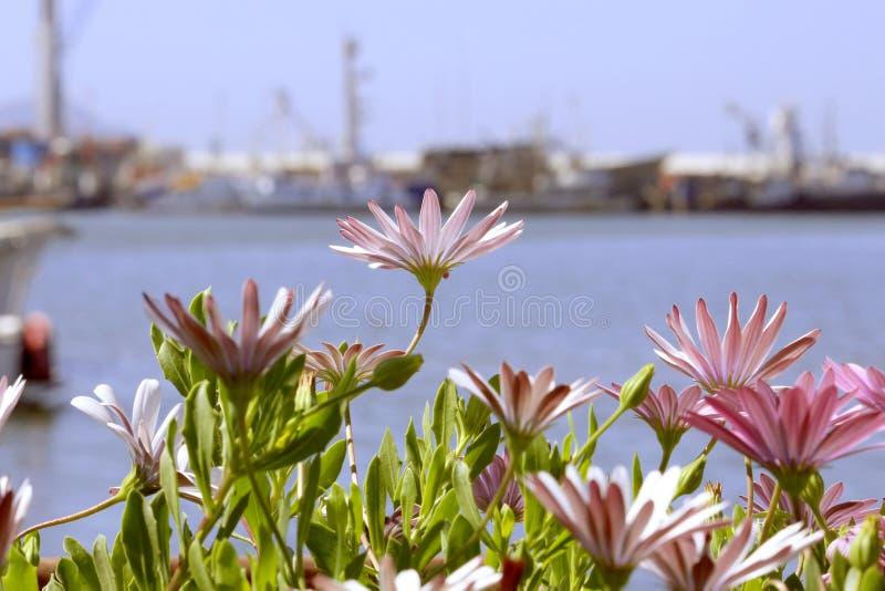 As margaridas fecham-se acima no porto de Ensenada, México fotografia de stock