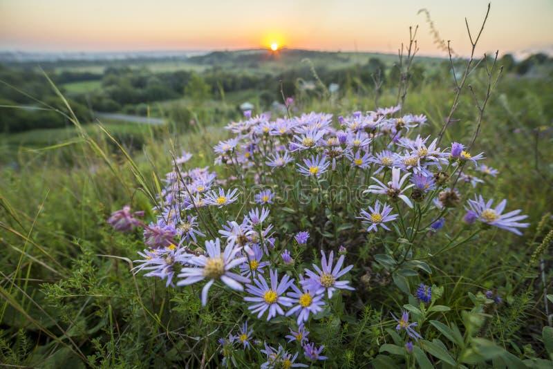 As margaridas selvagens azuis brancas de florescência em hastes altas iluminaram-se pelo yel brilhante imagens de stock royalty free