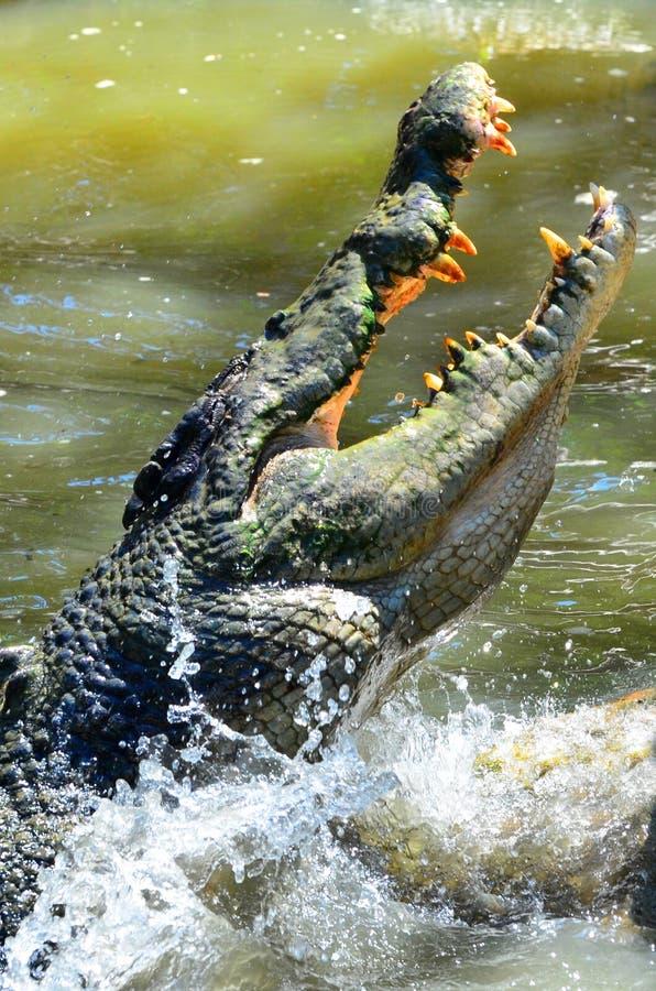 As maxilas de um crocodilo da água salgada pulam fora da água fotografia de stock royalty free