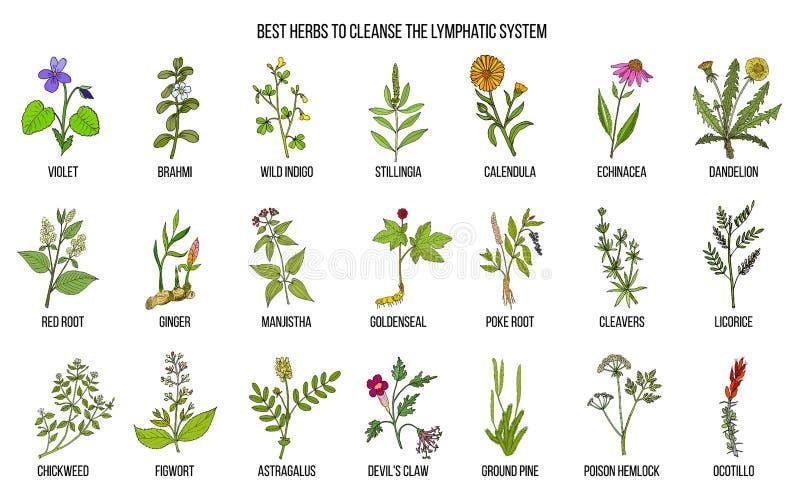 As melhores ervas medicinais ao cleance o sistema linfático ilustração royalty free