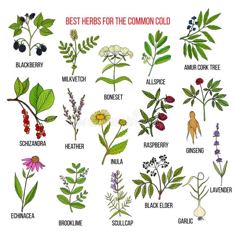 As melhores ervas para a constipação comum ilustração stock