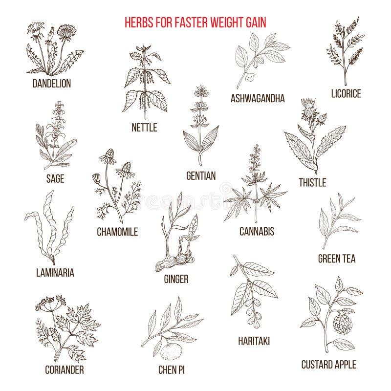As melhores ervas para o ganho de peso mais rápido ilustração stock