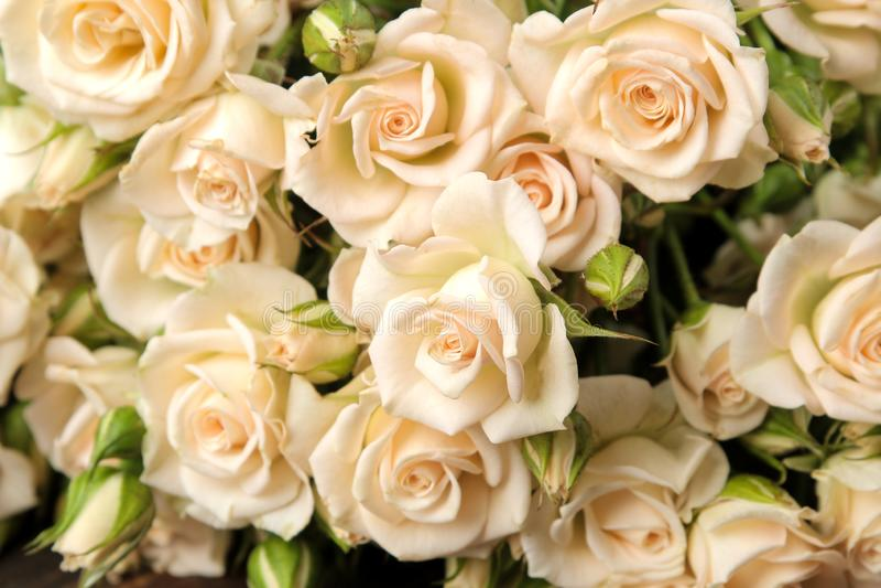 As mini rosas bege bonitas fecham-se acima Flores bonitas feriados fotos de stock royalty free