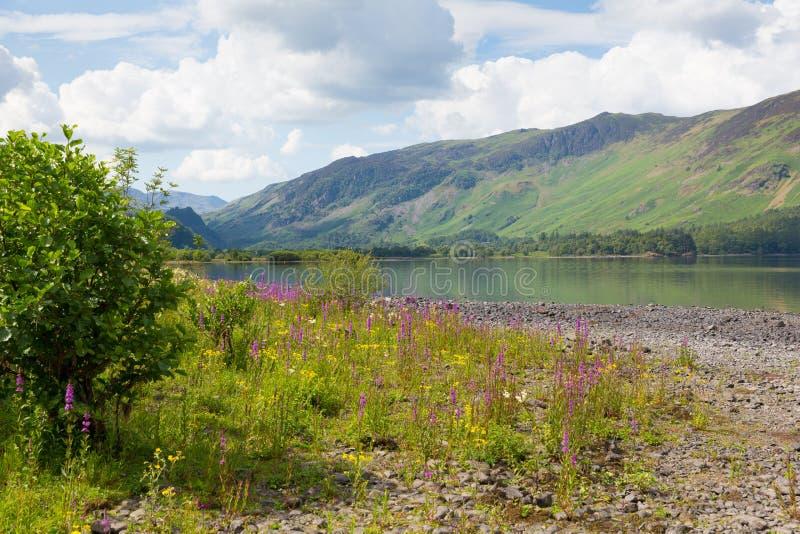As montanhas do distrito do lago e a donzela cor-de-rosa das flores amarram a água de Derwent o parque nacional Cumbria Reino Uni imagem de stock