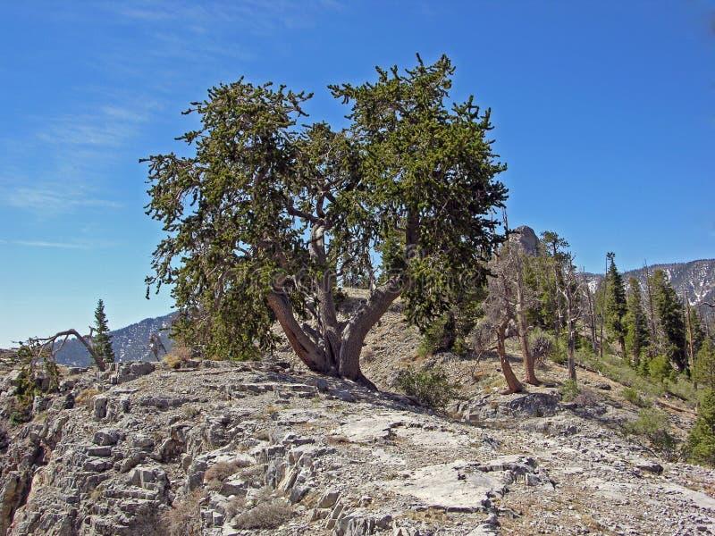 As montanhas dos pinhos de Bristlecone na primavera próximo montam Charleston. imagens de stock royalty free