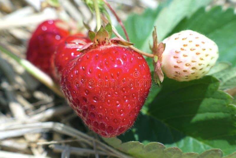 As morangos colocam a sobremesa natural do açúcar dos frutos orgânicos vermelhos e brancos foto de stock royalty free